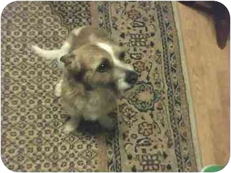 Jack Russell Terrier Mix Dog for adoption in Houston, Texas - Tito in Houston