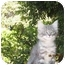 Photo 2 - Domestic Mediumhair Kitten for adoption in Los Angeles, California - Squeakie