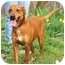 Photo 1 - Labrador Retriever/Hound (Unknown Type) Mix Dog for adoption in Portsmouth, Rhode Island - Nutmeg