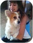 Corgi Dog for adoption in Inola, Oklahoma - Panda