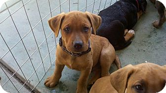 Doberman Pinscher/Boxer Mix Puppy for adoption in Bakersfield, California - Fred