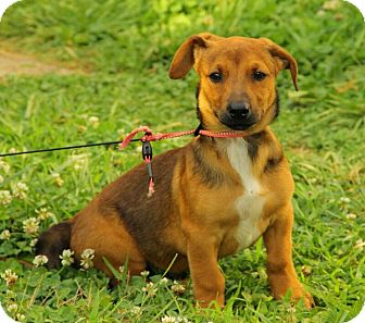 Dachshund/Beagle Mix Puppy for adoption in Windham, New Hampshire - Booth Reduced (In New England)