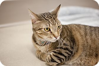 Domestic Shorthair Cat for adoption in Chicago, Illinois - Schrock