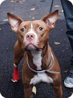 American Pit Bull Terrier Mix Dog for adoption in New York, New York - Toasty