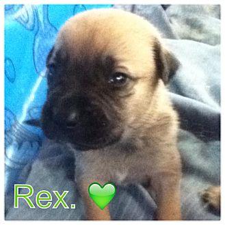 Labrador Retriever/German Shepherd Dog Mix Puppy for adoption in Torrance, California - REX