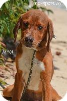 Hound (Unknown Type)/Redbone Coonhound Mix Dog for adoption in Danielsville, Georgia - Janet