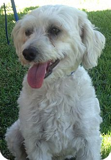 Poodle (Standard)/Poodle (Miniature) Mix Dog for adoption in Poway, California - ELROY