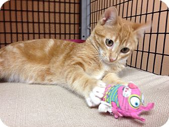 Domestic Shorthair Kitten for adoption in Deerfield Beach, Florida - Simba
