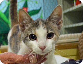 Domestic Shorthair Cat for adoption in Searcy, Arkansas - Angel