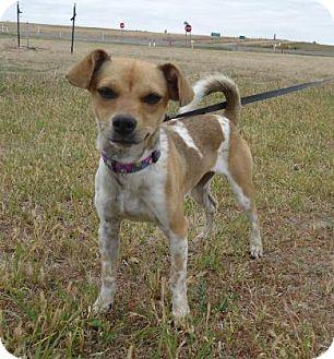 Rat Terrier Mix Dog for adoption in Larned, Kansas - Sadie