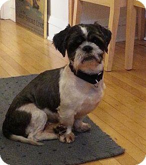 Shih Tzu Mix Dog for adoption in Chicago, Illinois - Viktor