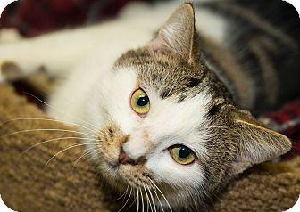 Domestic Shorthair Cat for adoption in Seville, Ohio - Brighton