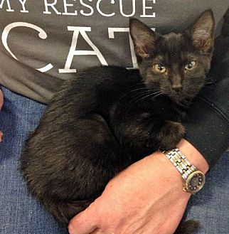 Domestic Shorthair Cat for adoption in Greenback, Tennessee - Black Cats