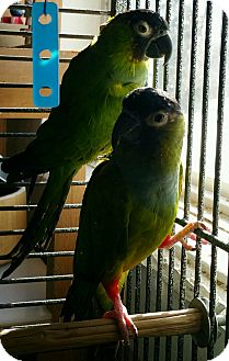 Conure for adoption in St. Albans, Vermont - Nikki & Henry