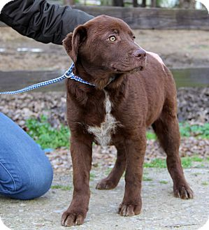 Labrador Retriever Mix Puppy for adoption in Minnetonka, Minnesota - FINN - gorgeous dog