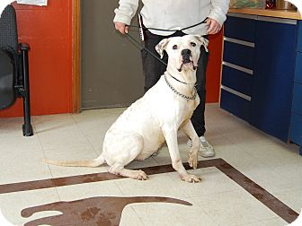 American Bulldog Dog for adoption in North Judson, Indiana - Dottie