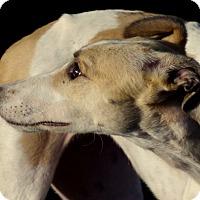 Adopt A Pet :: Fawn - Cottonwood, AZ