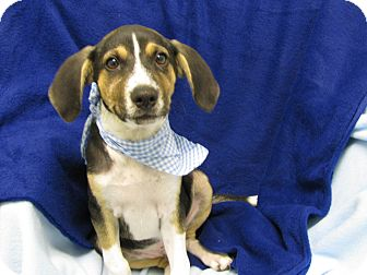 Hound (Unknown Type) Mix Puppy for adoption in Groton, Massachusetts - Banjo