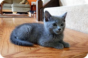 Russian Blue Kitten for adoption in Naperville, Illinois - Mork