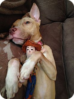 American Staffordshire Terrier Mix Dog for adoption in Long Beach, New York - Jade