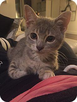 American Shorthair Kitten for adoption in Jersey City, New Jersey - Smokey