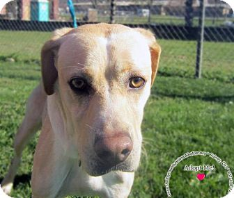 Labrador Retriever Mix Dog for adoption in Sidney, Ohio - Monti