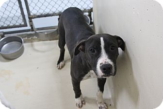 Pit Bull Terrier Mix Dog for adoption in Odessa, Texas - A32 Addie