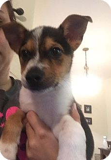 Jack Russell Terrier/Corgi Mix Puppy for adoption in Saddle Brook, New Jersey - Gene