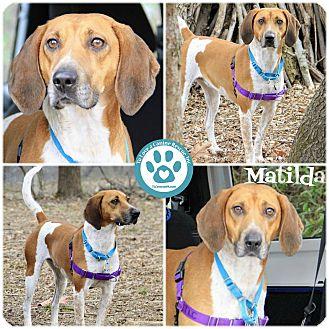 Redtick Coonhound Mix Dog for adoption in Kimberton, Pennsylvania - Matilda