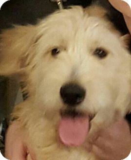 Poodle (Standard)/Golden Retriever Mix Puppy for adoption in Alpharetta, Georgia - Angie