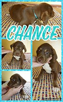 Labrador Retriever/Mixed Breed (Large) Mix Puppy for adoption in Sumter, South Carolina - Chance