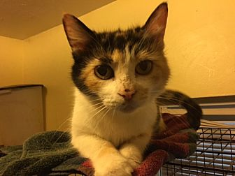 Domestic Shorthair Cat for adoption in Delmont, Pennsylvania - Patchouli