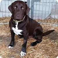 Adopt A Pet :: Jasper 11 week old Puppy! - Rowayton, CT