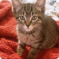 Adopt A Pet :: Moses - Casa Grande, AZ