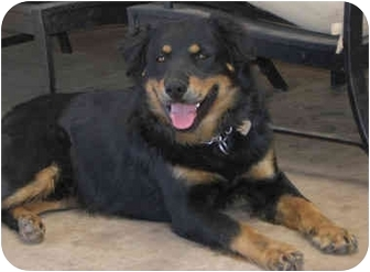 Australian Shepherd/Bernese Mountain Dog Mix Dog for adoption in Poway, California - Jack