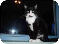 Domestic Shorthair Cat for adoption in Hamburg, New York - Blaze