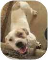 American Bulldog Dog for adoption in Austin, Texas - Buffy