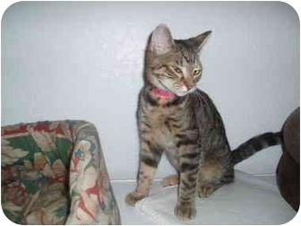 Domestic Shorthair Kitten for adoption in Hamburg, New York - Orphan Annie