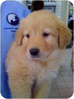 Golden Retriever Puppy for adoption in Knoxville, Tennessee - Bouy