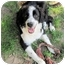 "Photo 4 - Border Collie/Australian Shepherd Mix Puppy for adoption in Winnsboro, South Carolina - Olivia ""NewtonJohn"""