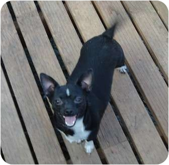 Chihuahua Mix Dog for adoption in Salem, Oregon - Josie