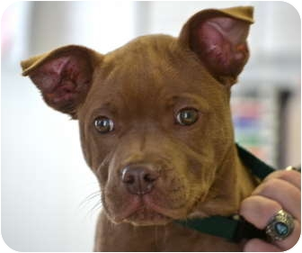 Labrador Retriever/Pit Bull Terrier Mix Puppy for adoption in Chesterland, Ohio - Snickers