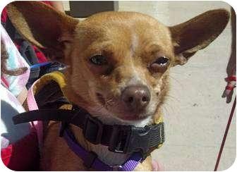 Chihuahua Mix Dog for adoption in Encinitas (San Diego), California - Kalika