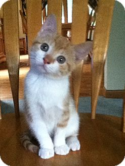Domestic Shorthair Kitten for adoption in Southington, Connecticut - Zoe