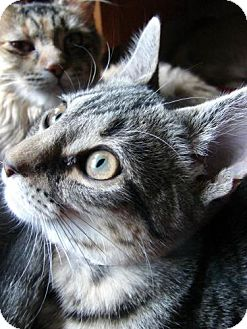 Domestic Shorthair Kitten for adoption in Grand Rapids, Michigan - Cindy Lou