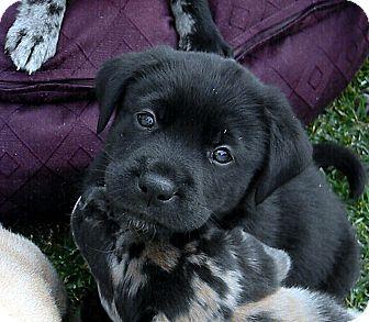 Catahoula Leopard Dog/Labrador Retriever Mix Puppy for adoption in Broomfield, Colorado - Goliath
