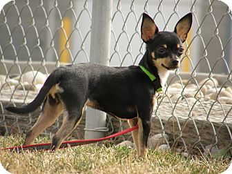 Chihuahua Mix Puppy for adoption in Meridian, Idaho - Chase