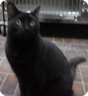 Domestic Shorthair Cat for adoption in St. Petersburg, Florida - BoBo