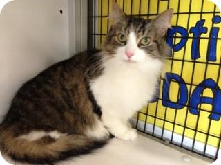 Domestic Mediumhair Cat for adoption in Warren, Michigan - Mo