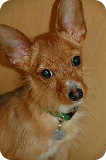 Chihuahua/Terrier (Unknown Type, Small) Mix Dog for adoption in Flower Mound, Texas - Gouda
